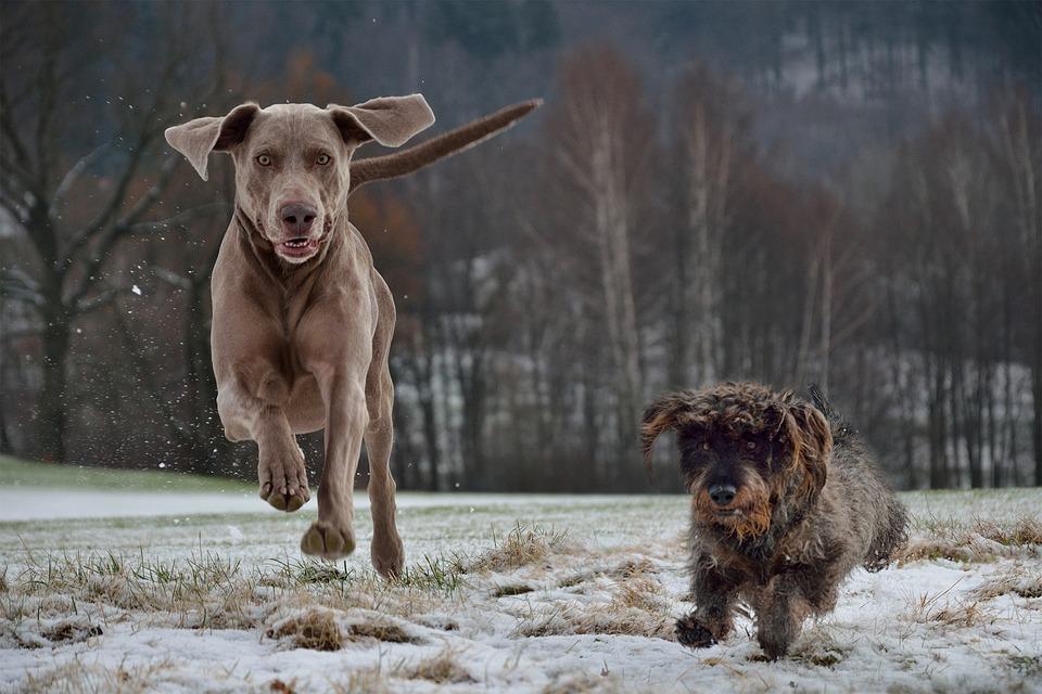 Jagdhunde-Weimaraner.jpg