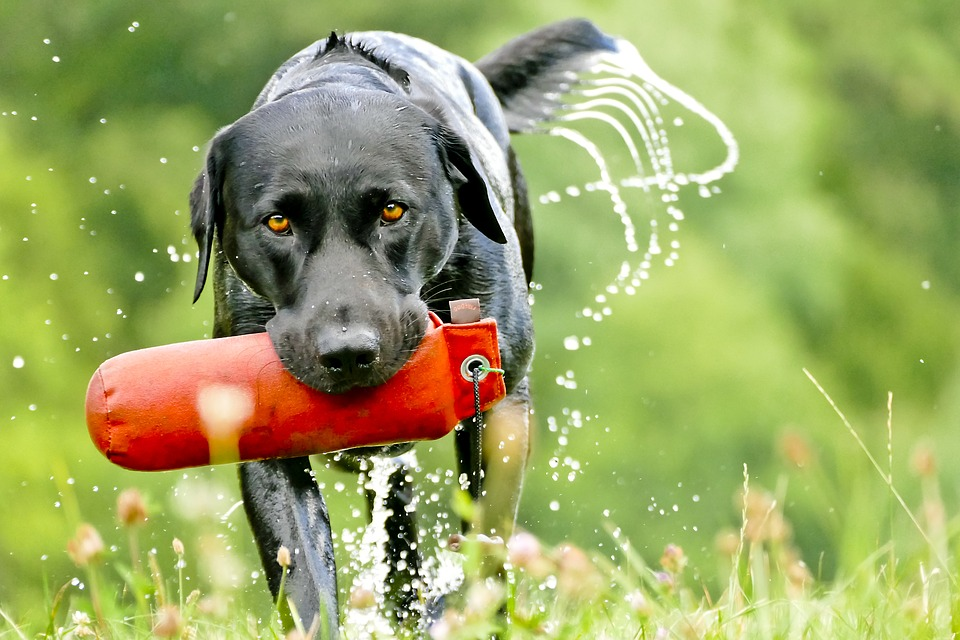 Jagdhundeausbildung-Labrador.jpg