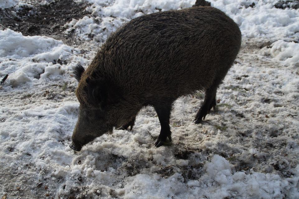 boar-641062_960_720.jpg